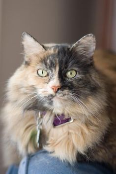 What a majestically lovely tortoise haired beauty. #cat #kitty #kitten #cute #pets #animals
