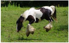 Black and White Pinto Paint Gypsy Vanner Horse Bucking Stallion Gelding Mare