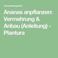 Ananas anpflanzen: Vermehrung & Anbau (Anleitung) - Plantura