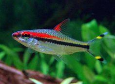 todas las especies de peces de agua dulce .