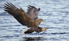 Zeearend   Vogelbescherming.nl