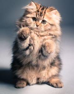 Precious fluffy kitty!
