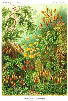 Ernst Haeckel Muscinae Moss Art Forms In Nature Art Print Poster Ernst Haeckel Muscinae Moss Art Forms In Nature Art Print Poster Moss Art, Botanical Art, Nature Illustration, Botanical Illustration, Scientific Illustration, Natural Form Art, Art Forms, Nature Art, Posters Art Prints