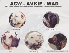Dog Breeds of Turkish World Giant Dogs, All Dogs, Dog Breeds, Pets, Animals, Geography, Asia, Europe, Animales