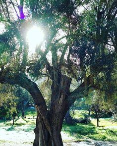 #goodmorning ... #Today let the #sun #warm your #soul ! . #sunny #sunnyday #lefkada #islandlife #paradise #island #olivegarden #olivetree #nature #happyday #happymood #instaphoto #instapic ##traveltolefkada #visitGreece #greeksummer