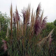 200+ Pampas Mix Ornamental Grass Seeds , Under The Sun Seeds