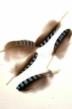 #Plumes de Geai des chênes : http://www.plumes.fr/produit/1-plumes-plumes/68-plumes-par-couleurs/1254-geai-des-chenes-2-3-cm-bleu-naturel