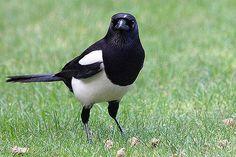 Pie Bavarde, Pigeon, One For Sorrow, Big Bird, Bird Pictures, Love Birds, 3c, Crows, Ravens