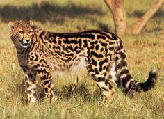 Beautiful King cheetah