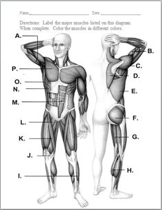 example image: muscular system diagram | musculoskeletal, Muscles