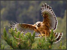 Red Shouldered Hawk #23