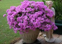 Evita Dwarf Bougainvillea in pot... just lovely!
