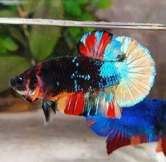 500 Gambar Blue Black Stars Terbaik Di 2020 Ikan Cupang Ikan Ikan Eksotis