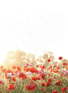 poppies exterior-garden