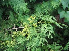 Cedar Thuja Occidentalis, Herbs, Flowers, Herb, Royal Icing Flowers, Flower, Florals, Floral, Medicinal Plants