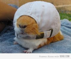 New hat for the guinea pig