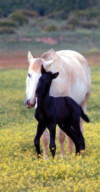 Baby Horse in Torrestrella #Cadiz. I love how light it's mom is and how dark the baby is. So beautiful