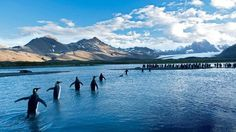 King penguins wade through the shallows of Fortuna Bay in South Georgia. #southpole