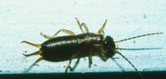 How to Kill Earwigs Indoors | eHow