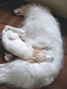 Borzoi mama and pup #russianwolfhound