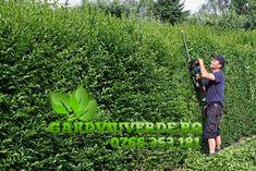 Galerie - Gard viu - Lemn Cainesc - Ligustrum ovalifolium Fruit, Plant