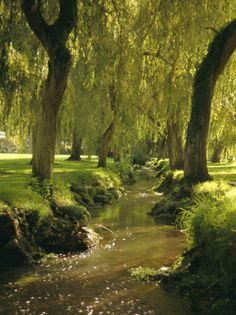 willow trees and river