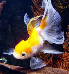 Pretty Fish, Cool Fish, Beautiful Fish, Goldfish Aquarium, Goldfish Pond, Beautiful Creatures, Animals Beautiful, Cute Animals, Underwater Creatures