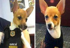 Teneri cuccioli Notizie: Spot, uno dei migliori cani poliziotto in miniatur...