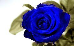 Blue Rose Desktop HD Wallpapers