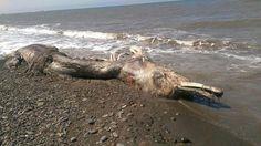 ♠ ♠  NOTICIAS INSOLITAS  ♠ ♠: Rusia: extraña criatura marina desconcierta a los ...