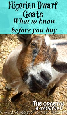 Everything you need to know before you buy goats.