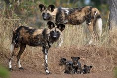 African wild dogs are one of Africa's most endangered species with less than 5,000 left. Here are 10 things you didn't know about African wild dogs.