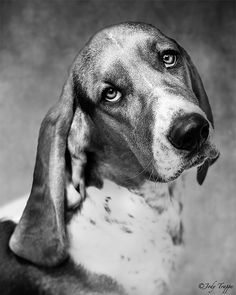 Beautiful Basset.