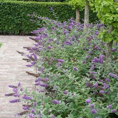 Lo & Behold® 'Blue Chip' on Spring Meadow Nursery