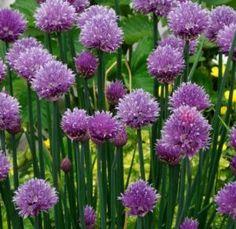 gressløk blomst 2