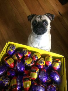 """""""The Easter bunny came early?  Where's my stash???"""" (thecheerypug)"""
