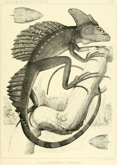 The plumed basilisk, Basiliscus plumifron On the batrachia and reptilia of Costa Rica With notes on the herpetology and ichthyology of Nicaragua and Peru by E.D. Cope (1875)