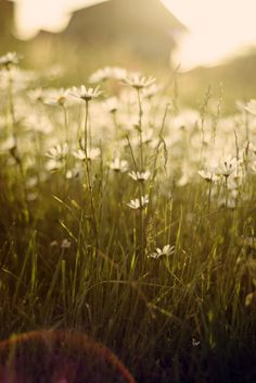 End of the day daisies. by glass_pieces on Flickr