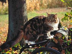 Frangelica   Maine Coon http://www.mainecoonguide.com/what-is-the-average-maine-coon-lifespan/