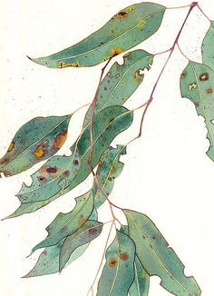 Eucalypt Gum Leaves by Gabby Malpas. watercolour on paper Mango FrootyEucalyptus: Gabby Malpas watercolour greeting card and envelopeMango Frooty -- would be cute to do this in a series -- the other 2 would be a caterpillar and then a butterflyLimite Botanical Drawings, Botanical Art, Watercolor Illustration, Watercolor Paintings, Watercolors, Tatoo Tree, Poster Art, Arte Floral, Leaf Art
