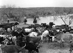 Bob Kleberg trading cattle on the King Ranch in South Texas, 1952. It was the first time the King Ranch purchased Longhorns.