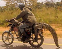 Meanwhile in Australia  Ps the crocodile ate this biker as the tranquilliser wore off !! ie Sorry this story was just a short TAIL ( no crocodile years now !!! ) ☑️