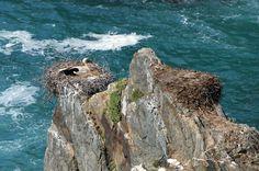 Cabo Sardão, Portugal | Cegonhas junto ao mar, Cabo Sardão