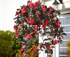 Flame-red impatiens tumble from this artificial hanging basket in the garden