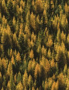 Reclaimed West JN C2905 Tamarack Trees