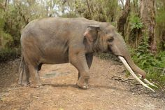 Illustration and photo-reconstruction of the ancient proboscis Cuvieronius hyodon walking along a track in the American jungle. Evolution, Elephant Sanctuary, Science Photos, Prehistoric Animals, Geology, Photo Library, South America, Mammals, Illustrators