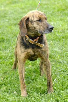 ***SUPER SUPER URGENT!!!*** - PLEASE SAVE BEVERLY!! - EU DATE: 6/15/2015 -- Beverly 85 Breed:Plott Hound Age: Adult Gender: Female Shelter Information: Johnson City/Washington Co. Animal Shelter 525 Sells Ave  Johnson City, TN Shelter dog ID: D2015590 Contacts: Phone: 423-773-8510 Name: Hannah Greene email: jcanimalshelter@embarqmail.com  Read more at http://www.dogsindanger.com/dog/1429099230586#ZD7JpfecbBJ9QJYS.99