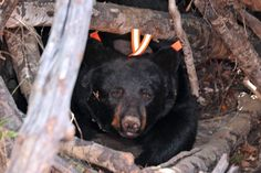 Juliet coming out of her den research bear Ely,Mn.