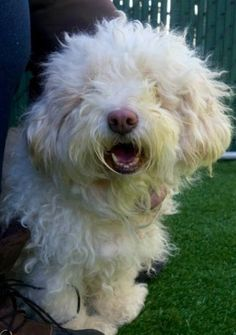 SAFE 02/21/17 --- SUPER URGENT 02/21/17 Manhattan Center  LULI – A1104208  FEMALE, WHITE, POODLE STND MIX, 6 yrs STRAY – STRAY WAIT, NO HOLD Reason PET HEALTH Intake condition UNSPECIFIE Intake Date 02/19/2017  http://nycdogs.urgentpodr.org/luli-a1104208/