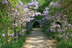 Westeria Walk in bloom